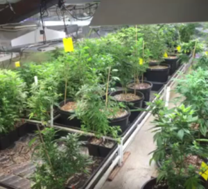 grow-room-marijuana-Tucson-SAINTS