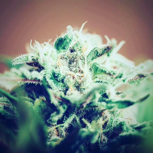 legal weed tucson saints