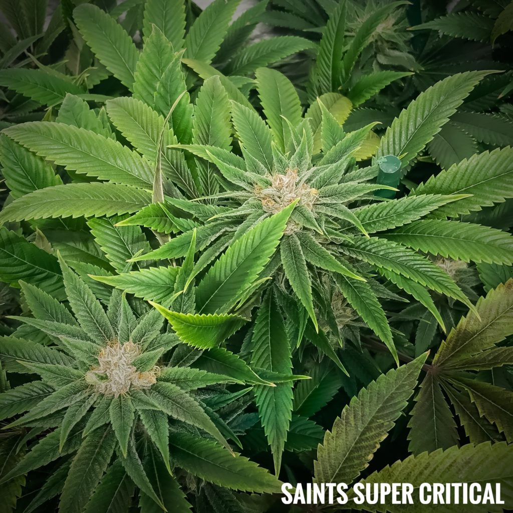 saints super critical strain
