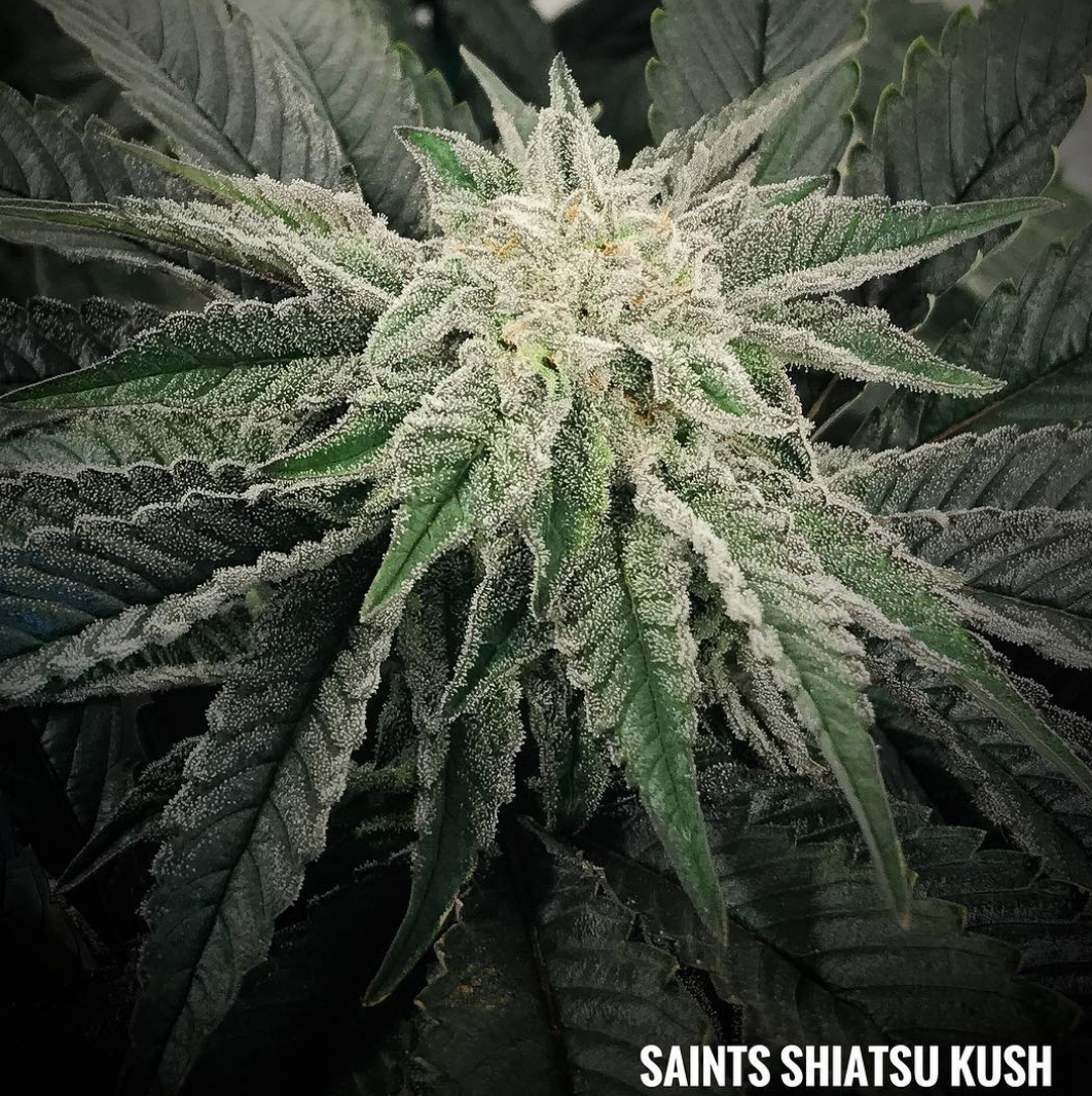 shiatsu kush tucson saints grow