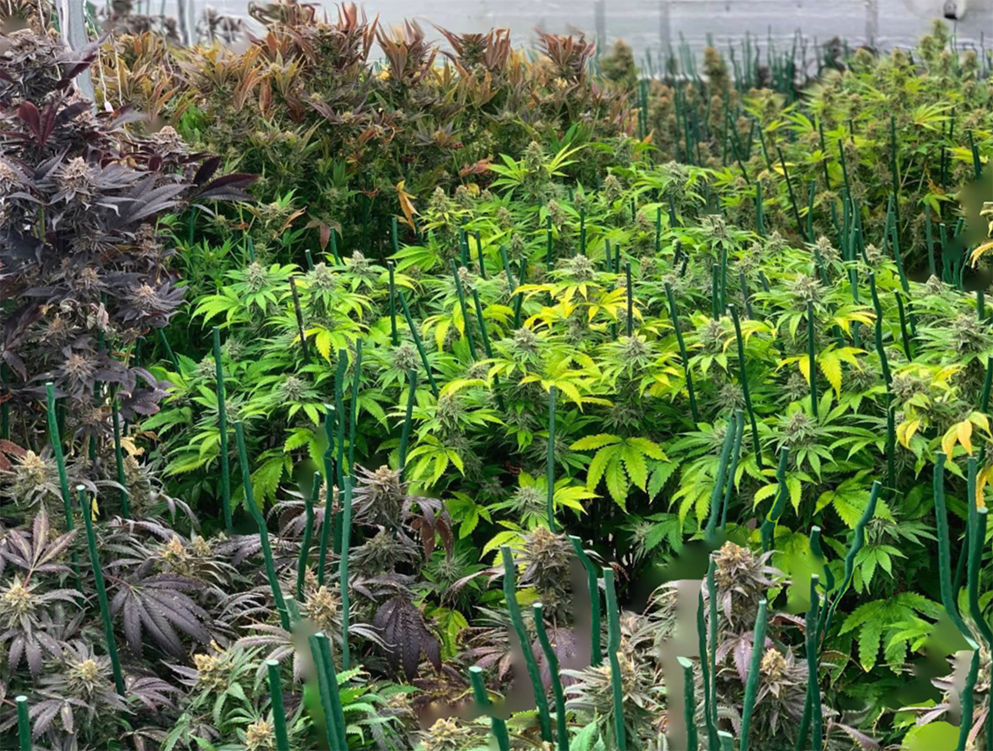 field of cannabis greens