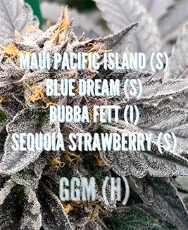 maui pacific island strain sunday saints 2019