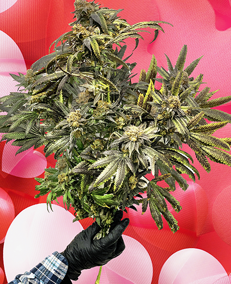 weed bouquet cannabis flowers valentines