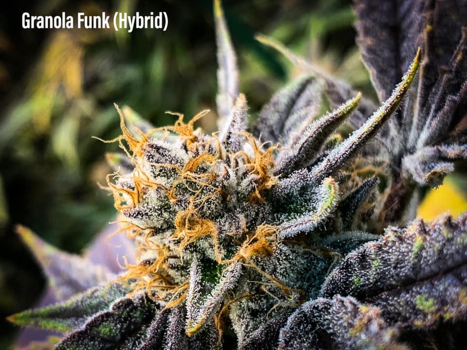 granolafunk strain hybrid tucson saints dispensary